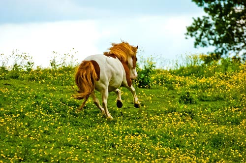 Pony Galloping