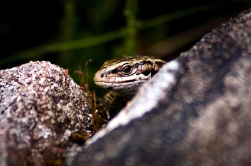 Common Lizard Peeping