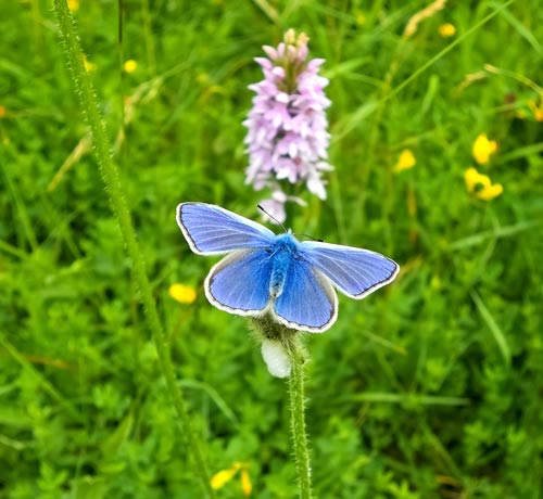 Blue Butterfly & Orchid